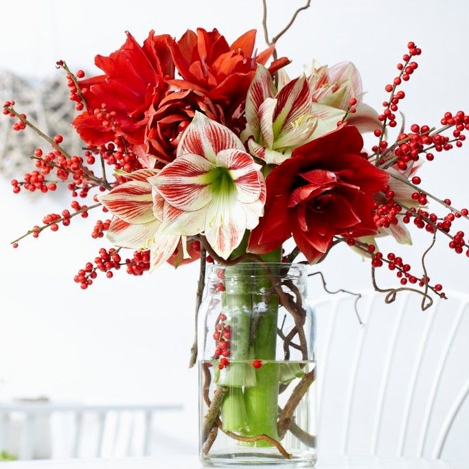 Amaryllis-Bulbs-Red-White-Collection