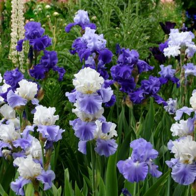Blue Mix - Re-Blooming Bearded Iris