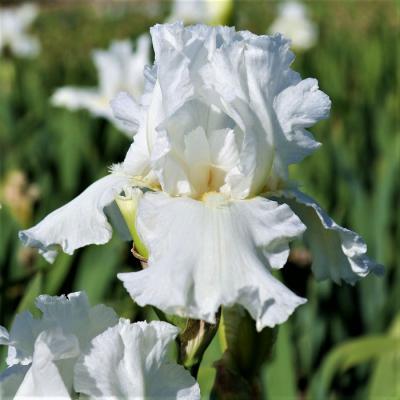 Frequent Flyer - Re-Blooming Bearded Iris