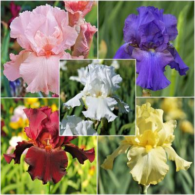 Mixed Colors - Re-Blooming Bearded Iris