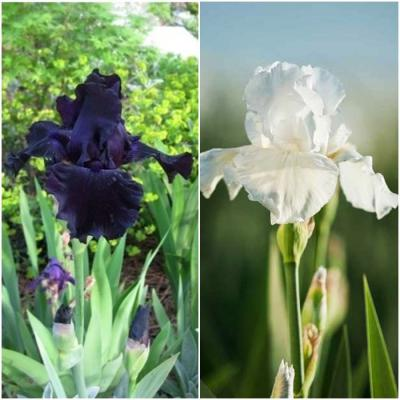 Re-Blooming Bearded Iris - Night & Day Collection