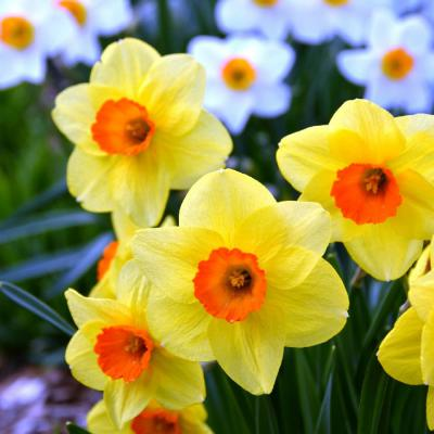 Daffodil Bulbs (Large Cupped) - Fortune