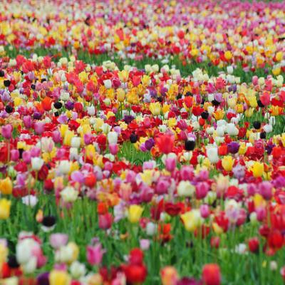 60 Days of Tulips - Long Lasting Mix
