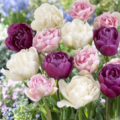 Tulip Bulbs (Double Late) - Pink Mix