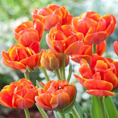 Tulip Bulbs (Double Late) - Queensday
