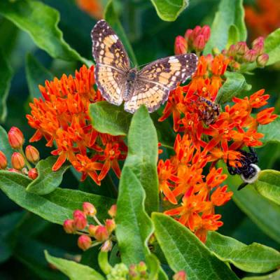 Asclepias tuberosa - Butterfly Milkweed Roots