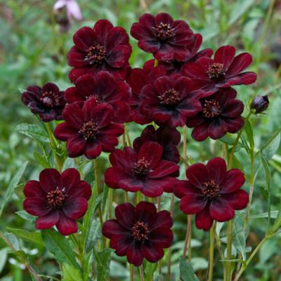 Chocolate - Cosmos Roots