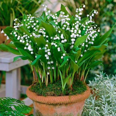 Lily of the Valley - Lily Roots