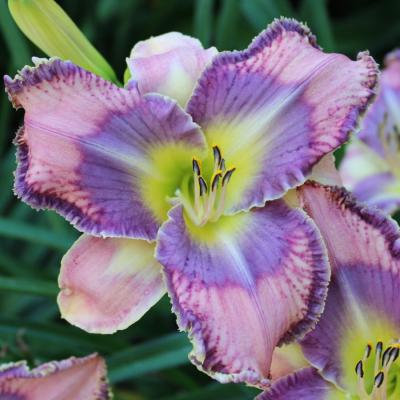 Mildred Mitchell - Daylily Bulbs
