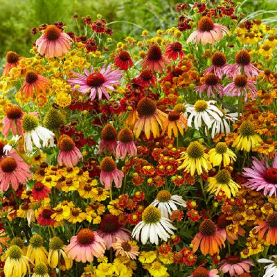 Echinacea Helenium Butterfly Attractor Mix