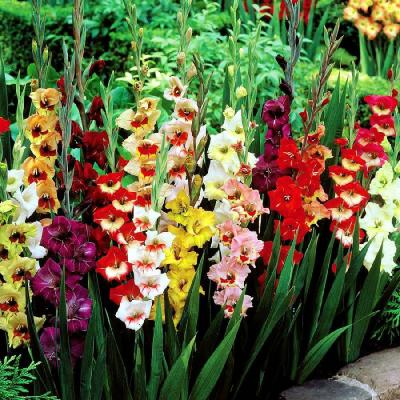 Gladiolus Bulbs - Butterfly Mix
