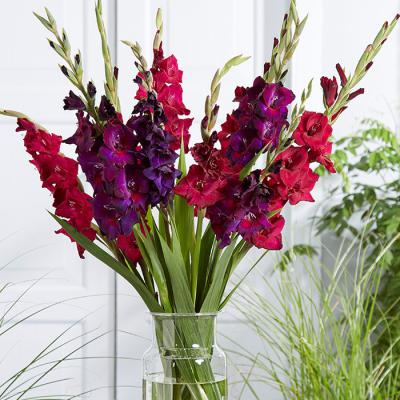 Gladiolus Bulbs - Painted Parrot Mix